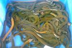黄鳝养殖酷暑高温时期需要注意哪些事项?