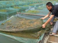 水泥池养殖黄鳝的管理技术