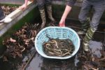 黄鳝养殖应该如何正确投饵?