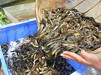 黄鳝苗下池以后注意的问题